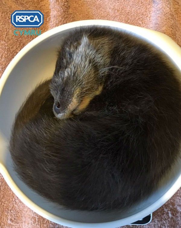 The otter curled up in a bowl