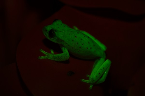 South American polka dot tree frog.