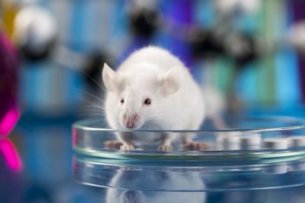 Lab mouse.