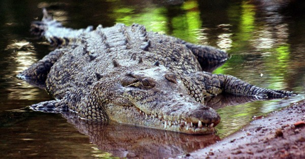 Man almost loses arm to crocodile while trying to impress girl