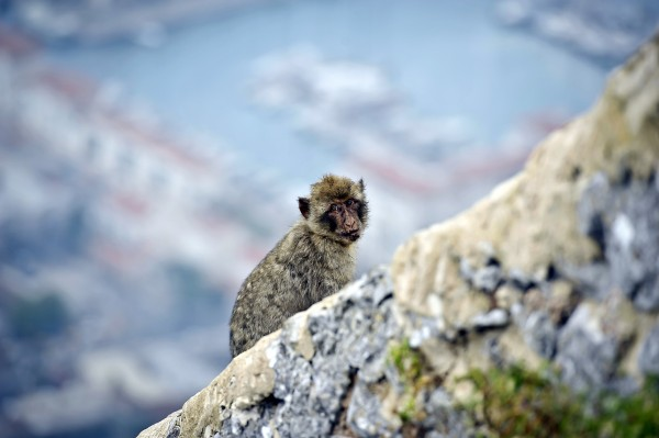 A wild Barbary macaque at the top of the Rock of Gibraltar.