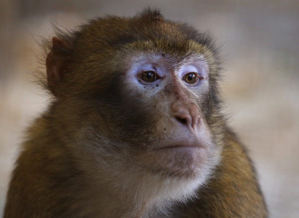 One of 30 Barbary macaques from Gibraltar explores its quarantine enclosure at the Blair Drummond Safari Park near Stirling.