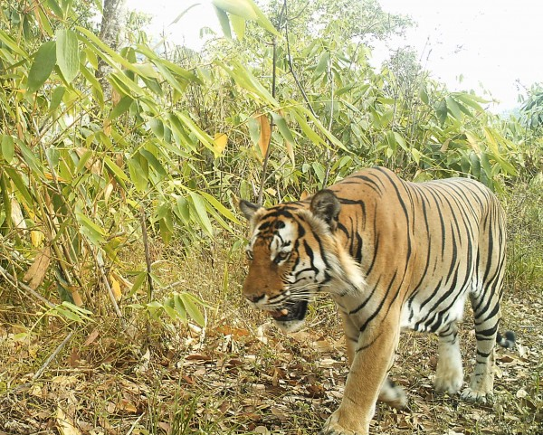 "Undated handout photo issued by WWF of a tiger in the hill forests of Northern Karen State, Burma, as the first camera trap surveys from the ""last remaining wilderness"" in South East Asia have revealed a wealth of rare wildlife including elephants, leopards and tigers."