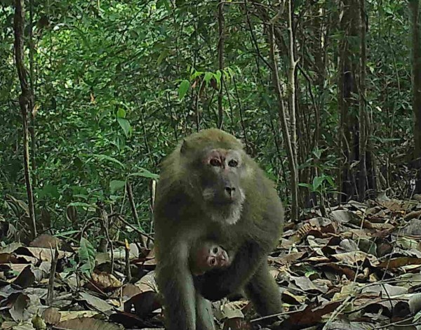 "Undated handout photo issued by WWF of Assam macaques in the hill forests of Northern Karen State, Burma, as the first camera trap surveys from the ""last remaining wilderness"" in South East Asia have revealed a wealth of rare wildlife including elephants, leopards and tigers."