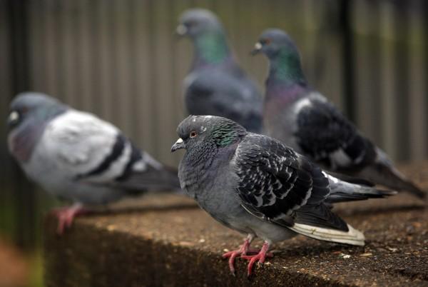Pigeons sitting