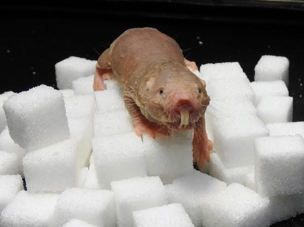 Mole rat on sugar