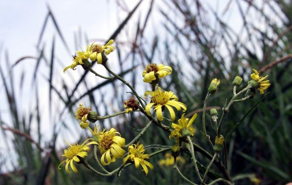 A rare Fen Ragwort plant - of which there was thought to be just one in the wild 30 years ago - is tended at a nursery at Flaf Fen, near Peterborough, Cambridgeshire.