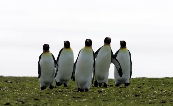 kjing penguins