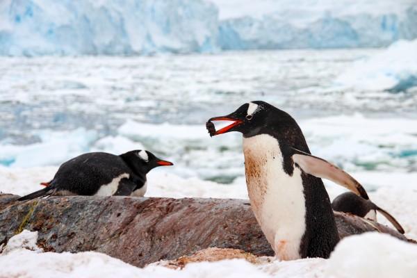 gentoo penguins on Cuverville Island in Antarctica