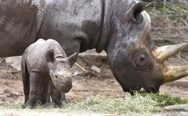 A new black rhino