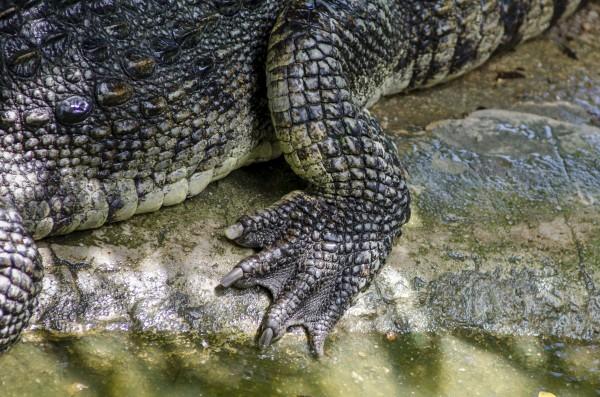 Alligator (