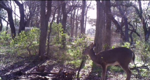 deer with bone in mouth (Lauren Meckel/ Texas State University)