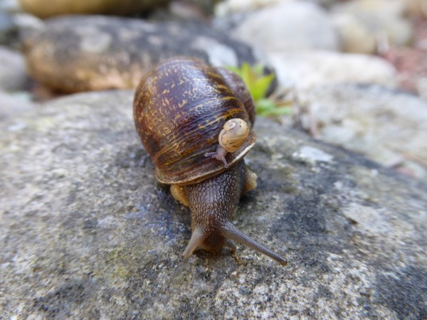 Rare snail Jeremy loses out in love triangle