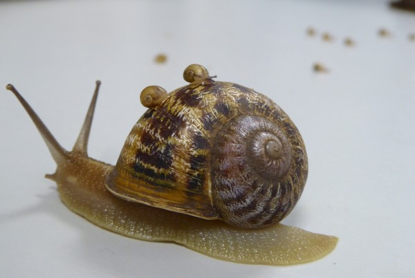 Rare snail left on shelf after a love triangle