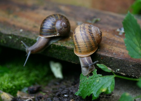 Scientist plays matchmaker to rare, left-coiling snails