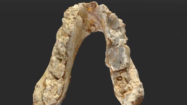 lower jaw of Graecopithecus freybergi dated 7.175 million years ago (Wolfgang Gerber/University of Tubingen/PA)