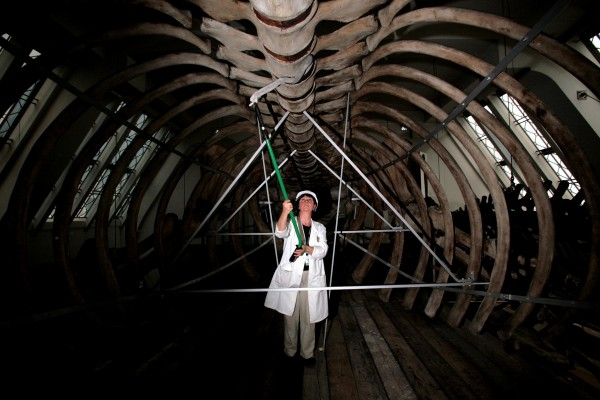 A woman in a blue whale skeleton