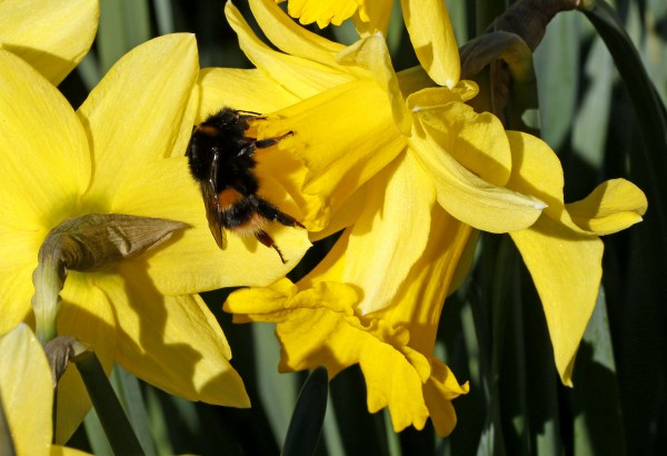 A bee buzzes around a daffodil