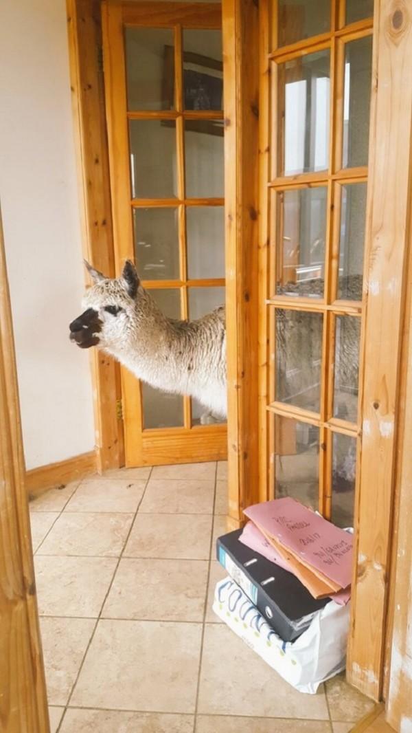 An alpaca in a house