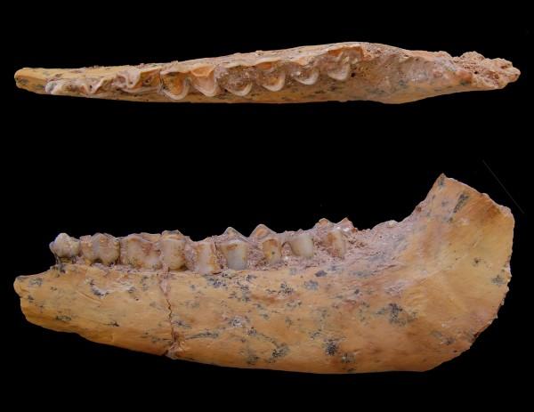 Homo sapiens skull fossil.