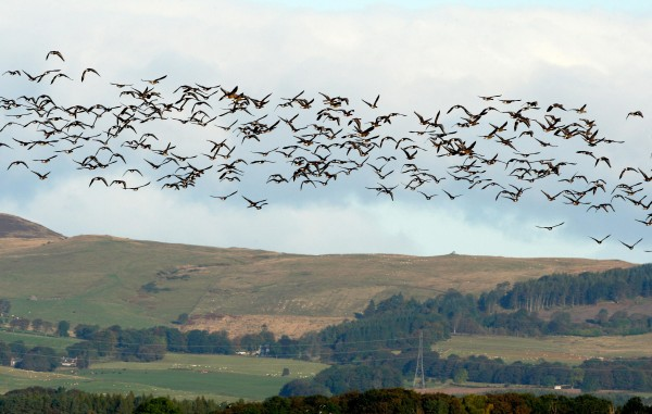 Geese flying in Europe
