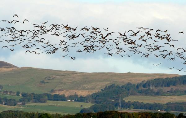 Geese flying in Europe