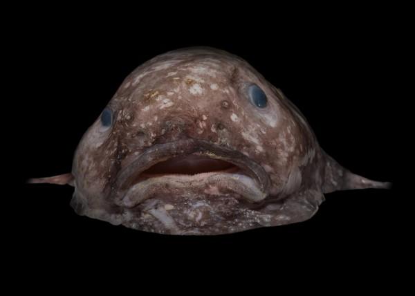 Blob fish.